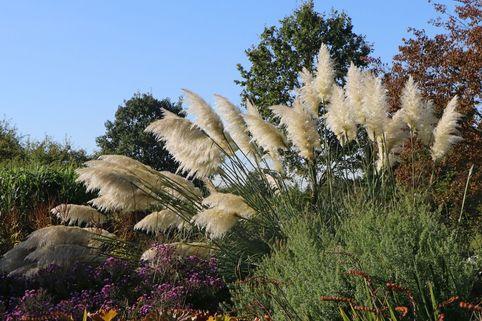Amerikanisches Pampasgras / Silber-Pampasgras - Cortaderia selloana