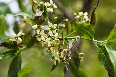 Amerikanisches Pfaffenhütchen - Euonymus americanus