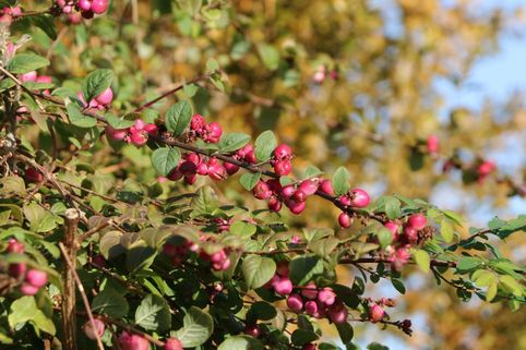 Amethystbeere 'Magic Berry' - Symphoricarpos doorenbosii 'Magic Berry'