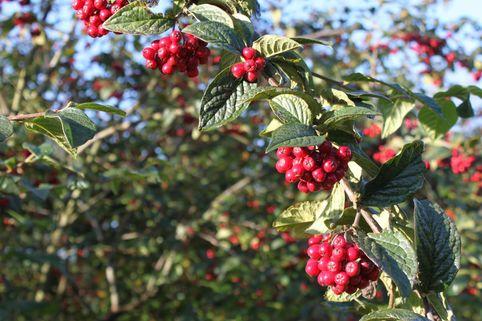 Amselbrotbaum / Großblättrige od. Runzelige Strauchmispel - Cotoneaster bullatus