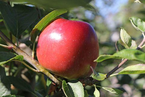 Apfel 'Ecolette' (S) - Malus 'Ecolette' (S)