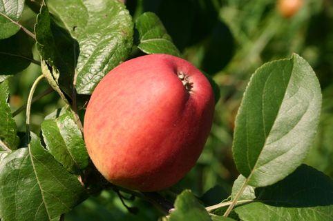 Apfel 'Erbachhofer Mostapfel' - Malus 'Erbachhofer Mostapfel'