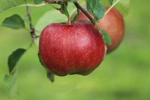 Apfel 'Florina' ® / 'Querina' - Malus 'Florina' ® / 'Querina'