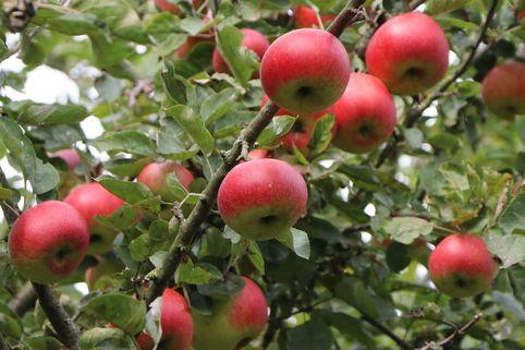Herbstapfel 'Uelzener Rambour' - Malus domestica 'Uelzener Rambour'
