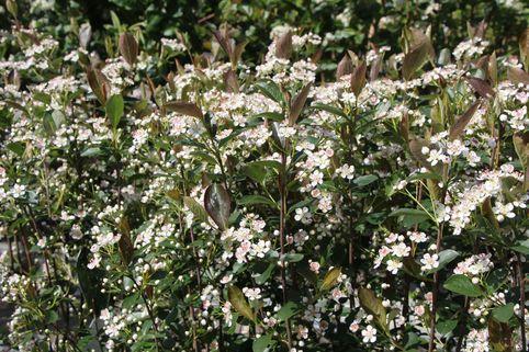 Apfelbeere 'Brilliant' - Aronia arbutifolia 'Brilliant'