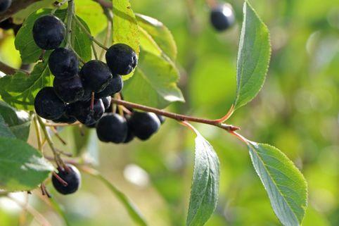 Apfelbeere 'Nero' - Aronia prunifolia 'Nero'