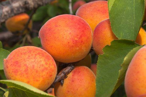Aprikose 'Bergeron' - Prunus armeniaca 'Bergeron'