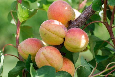 Aprikose 'Goldrich' ® - Prunus armeniaca 'Goldrich' ®