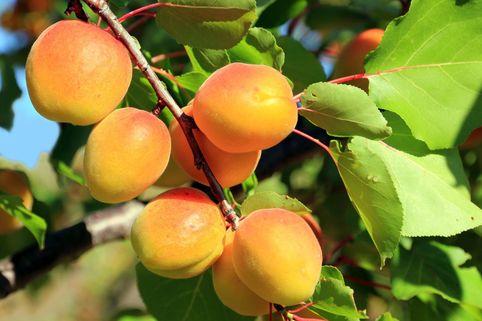 Aprikose Hargrand