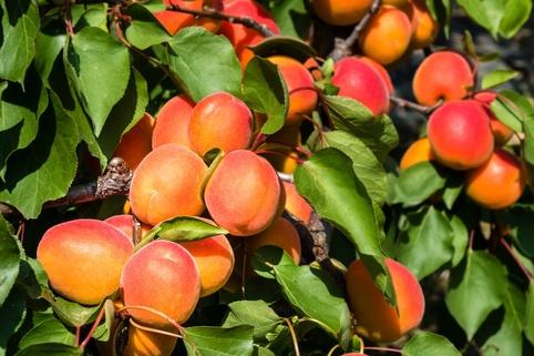 Aprikose 'Hilde' ® - Prunus armeniaca 'Hilde '®