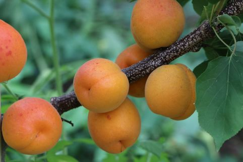 Aprikose 'Kioto' ® - Prunus armeniaca 'Kioto' ®