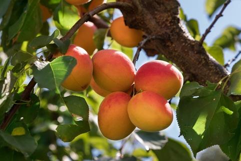 Aprikose 'Kuresia' ® - Prunus armeniaca 'Kuresia' ®