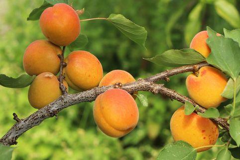 Aprikose 'Mombacher Frühaprikose' - Prunus armeniaca 'Mombacher Frühaprikose'