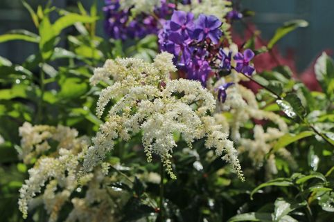 Arends Prachtspiere 'Astary White' ® - Astilbe x arendsii 'Astary White' ®