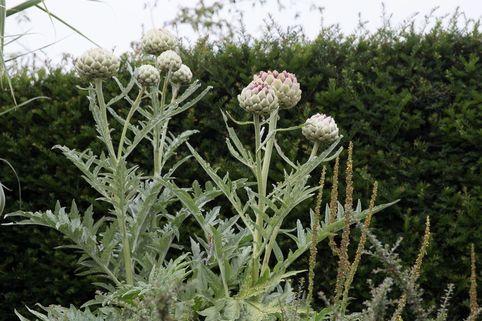 Artischocke - Cynara scolymus