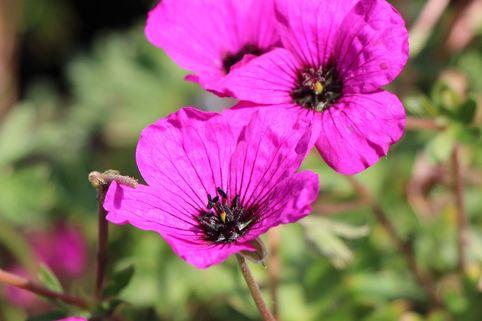 Aschgrauer Storchschnabel 'Giuseppii' - Geranium cinereum subsp. subcaulescens 'Giuseppii'