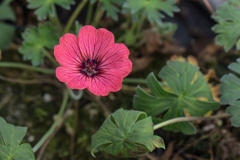 Aschgrauer Storchschnabel 'Jolly Jewel Salmon' - Geranium cinereum 'Jolly Jewel Salmon'