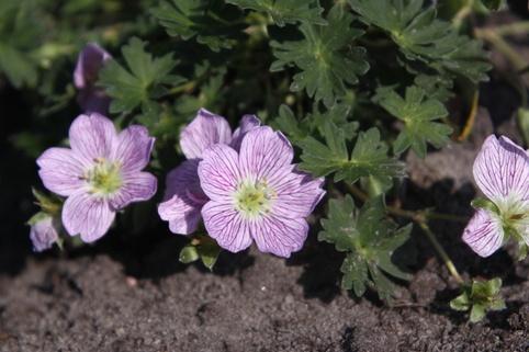 Aschgrauer Storchschnabel 'Lizabeth' - Geranium cinereum 'Lizabeth'