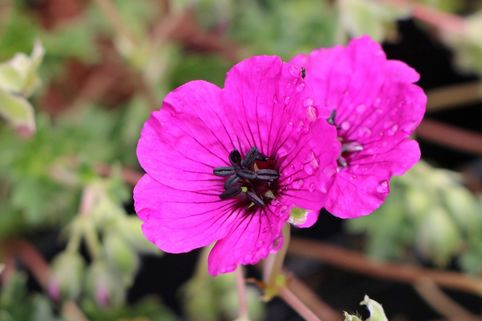 Aschgrauer Storchschnabel 'Purple Pillow' - Geranium cinereum 'Purple Pillow'