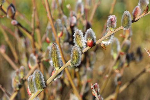 Aschweide / Grauweide - Salix cinerea