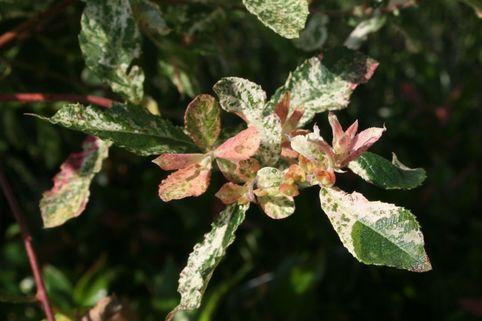 Aschweide 'Tricolor' - Salix cinerea 'Tricolor'
