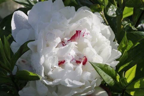 Asiatische Edel-Pfingstrose 'Festiva Maxima' - Paeonia lactiflora 'Festiva Maxima'