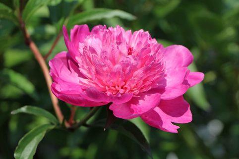 Asiatische Pfingstrose 'Amabilis' - Paeonia lactiflora 'Amabilis'