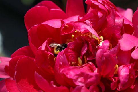 Asiatische Pfingstrose 'Augustin d'Hour' - Paeonia lactiflora 'Augustin d'Hour'