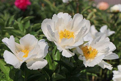 Asiatische Pfingstrose 'Krinkled White' - Paeonia lactiflora 'Krinkled White'