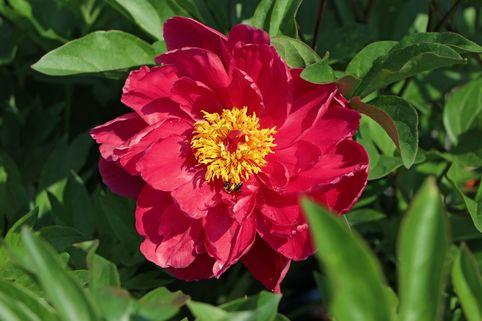 Asiatische Pfingstrose 'Louis van Houtte' - Paeonia lactiflora 'Louis van Houtte'