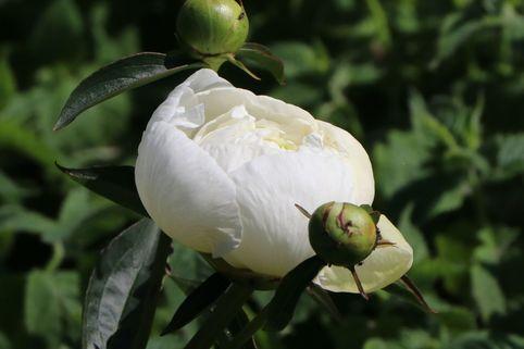 Asiatische Pfingstrose - Paeonia lactiflora