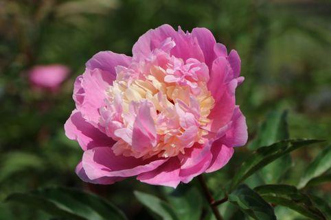 Asiatische Pfingstrose 'Sorbet' - Paeonia lactiflora 'Sorbet'