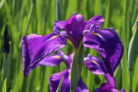 Asiatische Sumpf-Schwertlilie - Iris laevigata