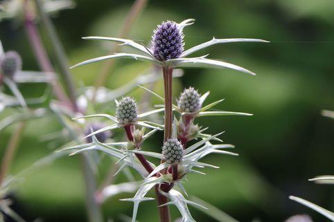 Atlas-Mannstreu - Eryngium variifolium