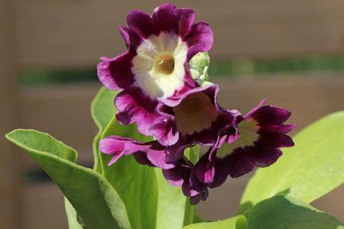 Aurikel - Primula x pubescens