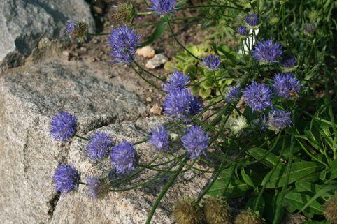 Ausdauerndes Sandglöckchen 'Blaulicht' - Jasione laevis 'Blaulicht'