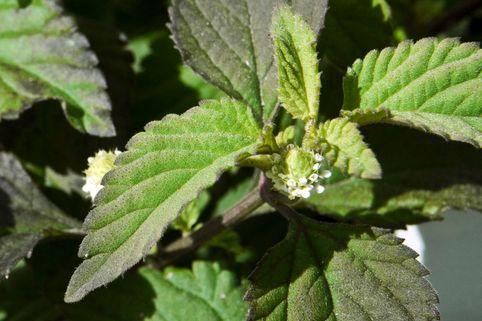 Aztekisches Süßkraut - Lippia dulcis