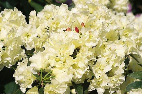 Rhododendron 'Creamy Chiffon' - Rhododendron Hybride 'Creamy Chiffon'