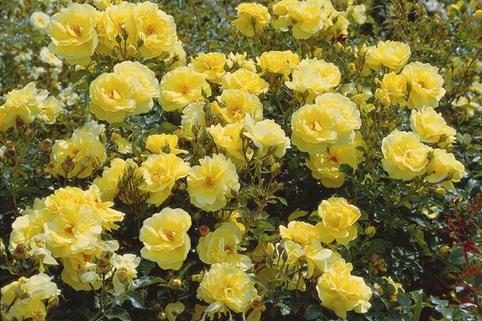 Beetrose 'Goldschatz' ® - Rosa 'Goldschatz' ®