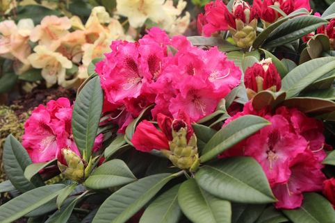 Rhododendron 'Nofretete' - Rhododendron Hybride 'Nofretete'