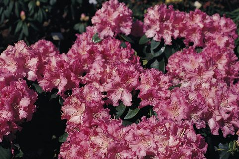 Rhododendron 'Rodrigo' - Rhododendron williamsianum 'Rodrigo'