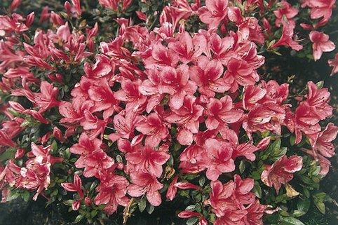 Japanische Azalee 'Marilee' - Rhododendron obtusum 'Marilee'