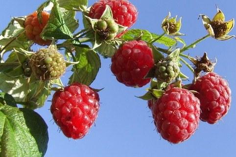 Himbeere 'Malling Promise' - Rubus idaeus 'Malling Promise'