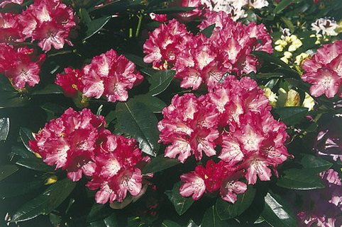 Rhododendron 'Glanzblatt' - Rhododendron yakushimanum 'Glanzblatt'