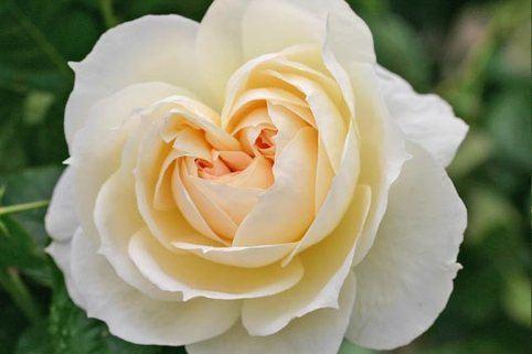 Strauchrose 'Flora Romantica' ® - Rosa 'Flora Romantica' ®