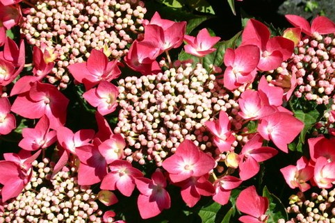 Tellerhortensie 'Fasan' - Hydrangea macrophylla 'Fasan'