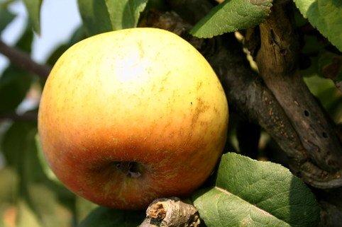 Herbstapfel 'Schöner von Wiltshire', 'Weiße Wachsrenette' - Malus 'Schöner von Wiltshire', 'Weiße Wachsrenette'