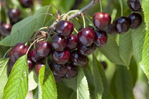 Süßkirsche 'Van' / selbstfruchtend - Prunus 'Van'
