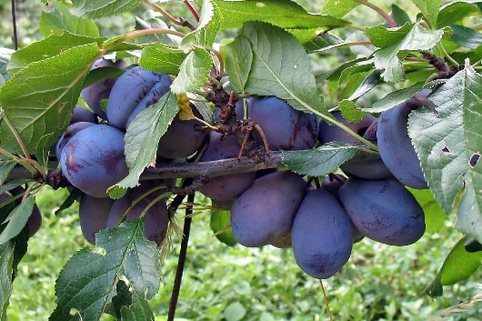 Zwetsche Frühe Fruchtbare
