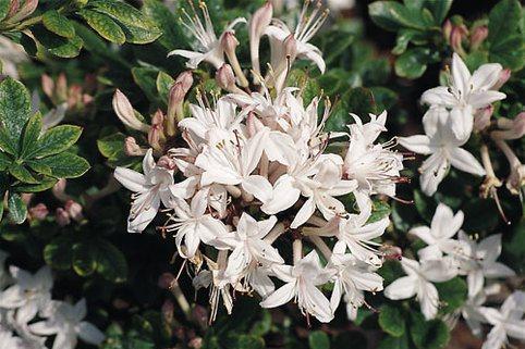 Rhododendron 'Sommerduft' - Rhododendron viscosum 'Sommerduft'